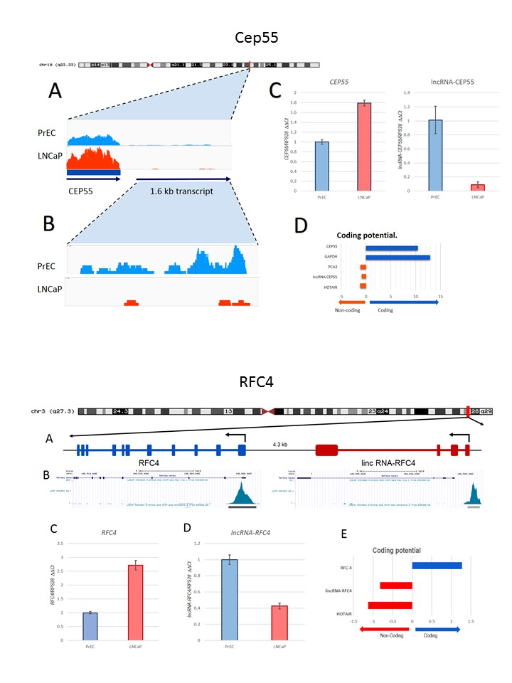 Using RNA-seq Data, we identified a new lncRNA adjacent to the protein coding gene Cep55, differential expression between neoplastic and non-neoplastic cell lines was confirmed using q-PCR. A previously annotated lncRNA was identified adjacent to the coding gene RFC4, differential expression in the coding and non-coding gene between both cell lines was confirmed using q-PCR. Both long non-coding transcripts could be playing a role as drivers of chromosomal instability in prostate cancer.